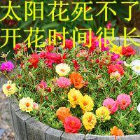 混色大重瓣松叶花苗太阳牡丹苗庭院阳台盆栽四季开花带根发货