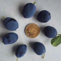 蓓蕾蓝靛果树苗 蓝靛果苗 羊奶子 黑瞎子果 山茄子果树苗 蓓蕾苗