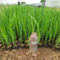 供应水生植物水葱,《帆顺水景》优质水葱培育基地,现货供应,欢迎您来选购
