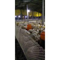 肠动力以前给肉鸭催肥用,现在给小鸭育雏用发现效果更好
