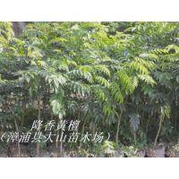 供应降香黄檀,海南黄花梨木,福建种植降香黄檀苗
