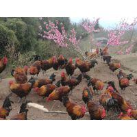 林地放养卓农土鸡苗的优势;卓农土鸡苗价格;求购香鸡苗