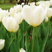 批发荷兰郁金香花种子种球 净化空气 盆栽鲜切花花卉