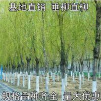 基地直销常年供应各种绿化工程苗木 垂柳树苗 黄金柳 青皮柳竹柳