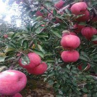 鲁丽苹果苗价格,苹果苗育苗基地