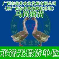 红河州金平县-山东鸡苗价格走势-山东鸡苗-广西鸡苗批发