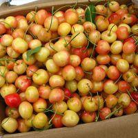 正一园艺场一年矮化樱桃苗 矮化樱桃苗批发 2公分矮化樱桃苗 矮化樱桃苗哪里有卖