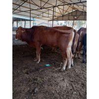 利木赞牛养殖基地 活体急速热销500头免费运输 低价促销
