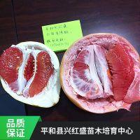 批发红皮红肉蜜柚苗 价格合理 欢迎选购 哪里有三红蜜柚苗
