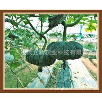 小南瓜种子|小南瓜品种|南瓜种子|南瓜品种|现代立新掌中宝小南瓜