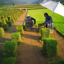 湖北随州 马尼拉草皮 绿化草皮出售价格 哪里有买