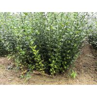 旺季促销枸橘小苗,枸橘苗种植基地