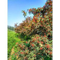 出售花椒苗500万棵0.3-1.5公分价格便宜