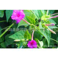 批发 美国紫茉莉 紫茉莉种子 当年新种 颗粒饱满 发芽率高