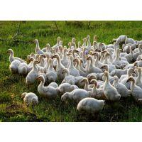 鹅雏孵化厂(图)-四季鹅苗出售-鹅苗出售