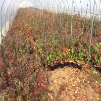 蓝莓种苗多少钱 蓝莓苗多少钱一棵 价格优惠