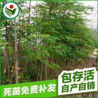 厂家直销 湖北辣木绿化苗木 精选辣木种子