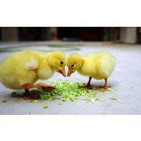 鹅苗孵化厂,河南鹅苗价格,南阳鹅苗价格,养鹅技术