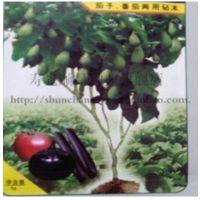美国引进改良托托斯加种子 茄子/番茄占木种子 2000粒