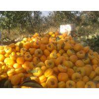 大量出售柿子苗脆甜柿子苗牛心柿子树苗抗病耐旱丰产柿子苗山东柿子苗价格
