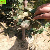 柱状苹果树苗 果大丰产易管理 烟富8号 08 1 2 3公分矮化苹果苗