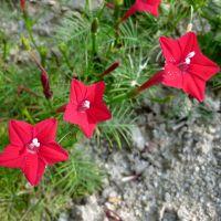 羽叶茑萝种子五角星种子 花卉籽观赏花海四季可播可盆栽植物