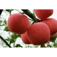 供应郑州果树研究所优质苹果苗