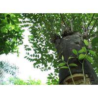 低价供应5-30cm 沉香树、沉香袋苗批发、沉香绿化树、行道树