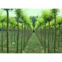 国槐树苗多少钱一株-银杏树多少钱 国槐树-国槐多少钱一颗