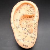 按摩模型耳贴穴位17cm经络通耳模型耳朵模型耳部反射区