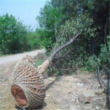 链条式挖树机 断根挖树机图片