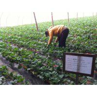 大棚草莓高产优质肥,营养速长抗重茬