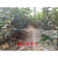 壹棵树农业 苹果树苗哪里有 苹果树苗培育基地 品种齐全