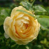庭院攀援花卉 欧月季格雷厄姆 托马斯 球状花苗 欧洲月季花