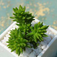 多肉植物【白花小松】办公室内迷你盆栽 不带盆发货  翠绿迷人