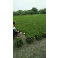 台湾二号草坪批发 草坪种植基地 大规模草坪批发