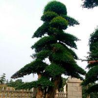 成都长期供应精品造型榆树 树形优美 现货供应 质优价低