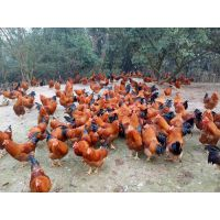 吐鲁番吐鲁番市-小鸡苗多少钱一只-河南鸭苗-海南鸡苗批发