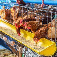 长沙海兰褐/罗曼/京红等60-120日龄青年鸡销售