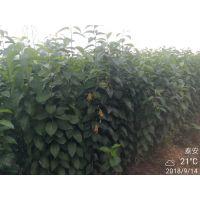 杜仲苗批发价格 种植技术哪家强 杜仲苗木