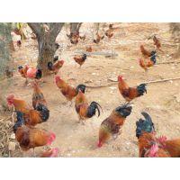 云南省纯种土鸡苗价格纯种土鸡