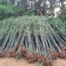 广西刚竹价格、广西刚竹绿化价格、刚竹批发价格