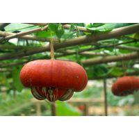观赏植物香炉瓜种子 盆栽香炉瓜种子观赏
