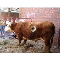 春季肉牛快速育肥技巧,精料配方