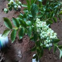 正一园艺场供应:蓝莓苗批发基地 哪有蓝莓苗