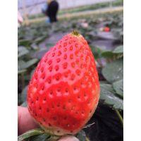 甜查理草莓苗价格 甜查理草莓苗行情 山东草莓苗新报价