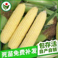 超甜3号水果型玉米种子 每袋1.5斤可种1亩 育苗移栽每袋可种1.8亩