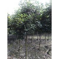 供应高杆红叶石楠大量出售 成都基地 红叶石楠各种规格
