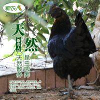 五黑鸡 绿壳蛋鸡 省级龙头 森林放养 无公害认证 包邮
