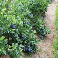 蓝莓树苗价钱 蓝莓苗多少钱一棵 价格优惠